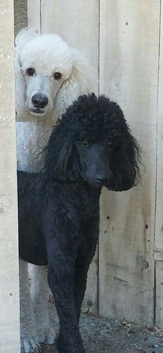 Standard Poodles <3 I Love Dogs, Cute Dogs, Animals And Pets, Cute Animals, Poodle Haircut, Poodle Cuts, Dog Show, Dog Life, Best Dogs