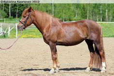 Finnhorse - mare Palojoen Virma