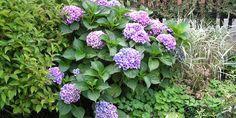 Jak pěstovat hortenzie, na co si dát pozor na zahradě a na co na terase? Jak na množení a přesazování? A jaké barvy květů mají jednotlivé odrůdy? Přečtěte si naše tipy a tato oblíbená rostlina s nádhernými velkými květy vám bude přinášet pouze radost. Cabbage, Vegetables, Plants, Garden Ideas, Gardening, Lawn And Garden, Veggie Food, Flora, Cabbages
