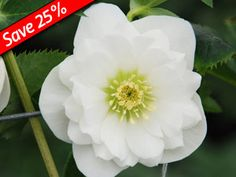 Helleborus Wedding Ruffles Winter Thrillers TM