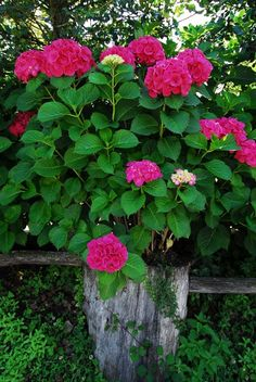 Deep pink Hydrangea macrophylla.