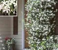 Toscaanse jasmijn, geurige klimplant. wintergroen, matig winterhard: bij -5 bodem bedekken. Groeit na een paar jaar snel, tot 1 m per jaar.