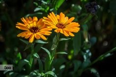 Calendula officinalis L. by Marek Weisskopf on 500px