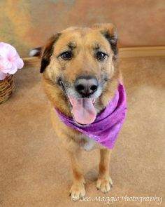 TAWNY is a spayed female Shepherd mix and 4 months old.  She's good with kids, but not so much with dogs, yet.  Tawny is sweet and well-behaved and ready to be your colorful companion!  Spread the word!    http://www.lastdaydogrescue.org/animals/detail?AnimalID=4783008