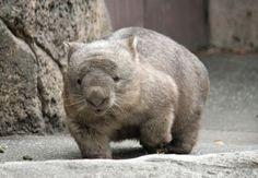 ウォンバット?田中邦衛似 Wombat, Brown Bear, Beautiful Creatures, Feathers, Cute Animals, Pets, Sweet, Super Cute Animals, Koalas