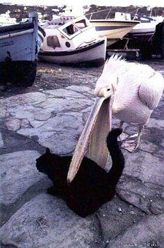 Pelican + Cat