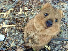 I've played with quokkas. Jealous?