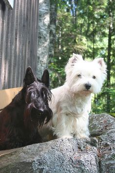 Westie & Scottie aren't they just gorgeous! Next time I might get two like this. I'm just in love with these two!