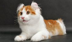Cute american curl cat plz visit us for more details