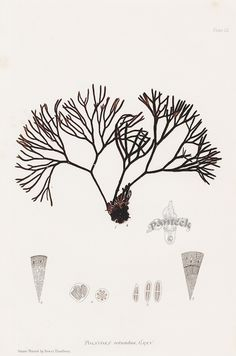 Polyides from Seaweed Prints by Bradbury