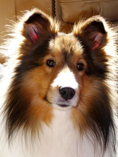 Sunny 1.10 beautiful sheltie