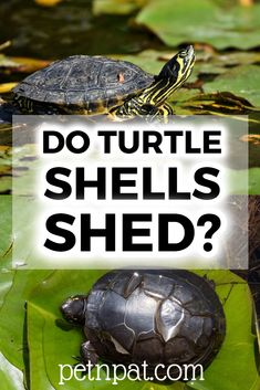 Do Turtles Shed? A Guide To Turtle Shells Peeling  #pets #animals #turtles Animals For Kids, Animals And Pets, Baby Animals, Funny Animals, Animal Quotes, Animal Memes, Pet Turtle Care, Turtle Shells, Turtle Habitat