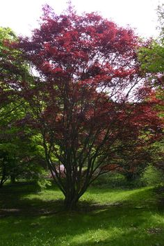 Acer palmatum 'Bloodgood' Japanese Maple - A's garden