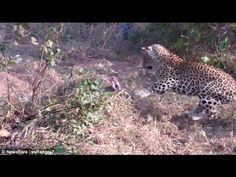 Giant Python vs Leopard in South African national park