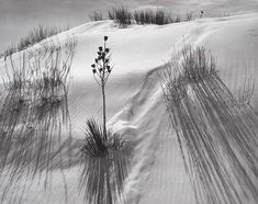 """zzzze: """"ANSEL ADAMS (1902 - 1984) Dune, White Sands National Monument, New Mexico, (yucca),ca. 1942 Gelatin silver print """""""