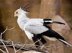 secretary_bird.jpg (700×514)