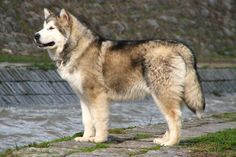Alaskan Malamute breed information. Get answers to questions about Alaskan Malamutes - NextDayPets.com
