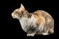 bengal munchkin cats Animals Pinterest Munchkin cat