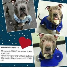 TO BE KILLED 3/22/16 Manhattan Center – P  My name is BRUCE. My Animal ID # is A1067554. I am a male gray and white pit bull mix. The shelter thinks I am about 5 YEARS old.  I came in the shelter as a STRAY on 03/14/2016 from NY 10029, owner surrender reason stated was STRAY.  http://nycdogs.urgentpodr.org/bruce-a1067554/