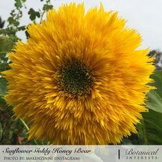Sunflower Goldy Honey Bear Organic Seeds | Botanical Interests. High Quality Seed.