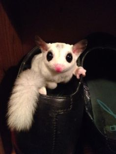 89 best sugar glider images on pinterest sugar gliders pets and