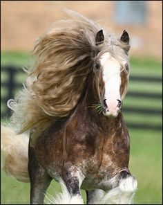 Gypsy Vanner Stallion Bullet
