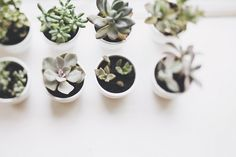 olivia rae james - Would make great party favors at a garden party!olivia rae james - Would make great party favors at a garden party! Baby Succulents, Planting Succulents, Planting Flowers, Green Plants, Air Plants, Indoor Plants, Indoor Garden, Echeveria, Decoration Plante