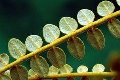 Image result for kowhai stigma Plant Leaves, Art Ideas, Plants, Inspiration, Image, Pen And Wash, Biblical Inspiration, Plant, Inspirational