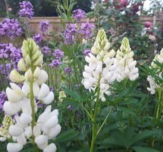 White lupins  #lupins Bloom, Flowers, Plants, Plant, Royal Icing Flowers, Flower, Florals, Floral, Planets