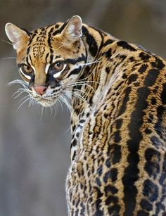 The Ocelot Is Famous For Looking Extremely Similar To A Domestic Cat Its Fur May