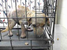 01/26/17-HOUSTON-SUPER URGENT - This DOG - ID#A476547 I am a male, brown Dachshund. My age is unknown. I have been at the shelter since Jan 26, 2017. This information was refreshed 45 minutes ago and may not represent all of the animals at the Harris County Public Health and Environmental Services