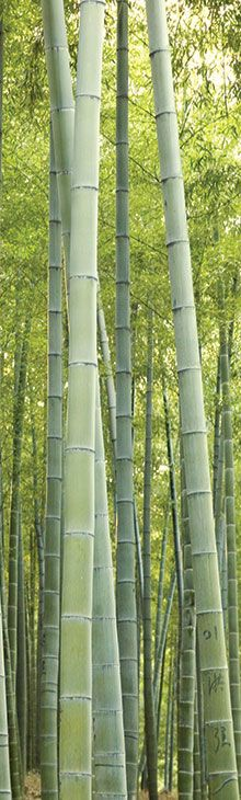 Moso Bamboo - The best!