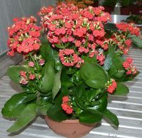 Kalanchoe: come curarle, coltivarle e farle fiorire - elicriso. Types Of Succulents, Cacti And Succulents, Planting Succulents, Planting Flowers, Kalanchoe Blossfeldiana, Cool Plants, Green Plants, Cactus For Sale, Plants Are Friends