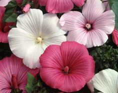 Rose Mallow Seeds - Mixed Colors Lavatera trimestris. Resembles hibiscus but smaller and easier to grow. Sun/part shade, annual, 24-48 in. Too tall for hanging planter, maybe large container. Makes a good informal hedge fence.