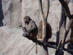Hamadryas Baboon Maszat and Dezső, Budapest Zoo