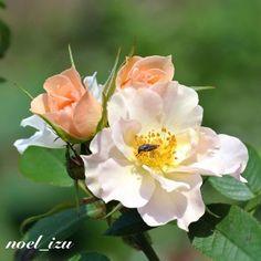 名前で選んだバラ/キューピッド・イン・ザ・ガーデン #rose ##garden #flower #nature #izu #japan - @noel_izu- #webstagram
