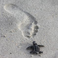 Baby Loggerhead. Inspiration for my first tattoo. They are the original survivors :)