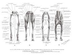 Dog Anatomy, Muscle Anatomy, Animal Anatomy, Greyhound Art, Italian Greyhound, Dressage, Border Collie, Lurcher, Grey Hound Dog
