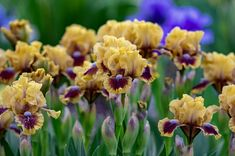 Iris 'Feel the Heat' uploaded by evermorelawnless Dwarf Iris, Bearded Iris, Public Garden, Trees And Shrubs, Growing Flowers, Cacti And Succulents, Tropical Plants, Native Plants, Plant Care