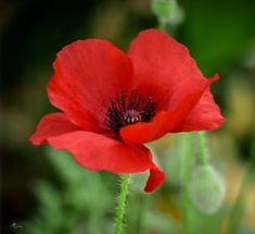 Today, poppies have been linked with Flanders fields as an emblem of people who died in World War I. Maintaining knowledge of these essential facts about how to grow poppies is critical. Plant Oriental poppy where you desire it. Flower Images, Flower Pictures, Flower Art, Poppy Images, Red Poppies, Red Flowers, Beautiful Flowers, Poppies Art, Growing Poppies
