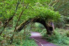 Hall of Mosses entrance Olympic National Rainforest Hoh Rainforest Seattle Washington, Hiking In Washington State, Puyallup Washington, Wa State, State Parks, Travel Usa, Vacation Travel, Vacation Ideas, Vacations