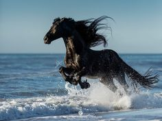 Friesian horse galloping in the ocean - Pferde - Most Beautiful Horses, All The Pretty Horses, Beautiful Beautiful, Cute Horses, Horse Love, Black Horses, Wild Horses, Horse Photos, Horse Pictures