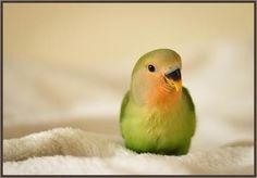 Annonce Oiseaux chez TOPannonces ► http://www.topannonces.fr/annonce-oiseaux-v42730305.html