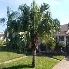 Image result for fan palm trees