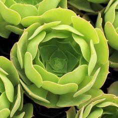 Aeonium tubac: Deep tuba-like green rosette. Really neat shape! $4.50 (http://mountaincrestgardens.com/aeonium-tubac/)