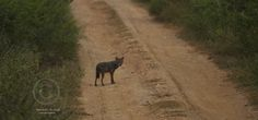 a fox at the middle of the road @ the Udawalawe National Park