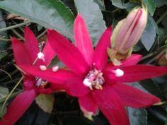 Pasiflora, mi jardin
