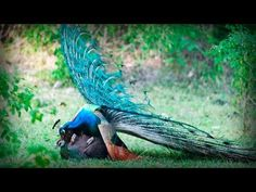 Glamorous Indian Peacock | Pavo Real Glamuroso - YouTube