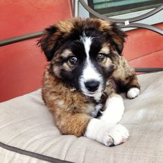 Australian & German Shepherd mix puppy