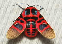 Picture-winged Leaf Moth (Glanycus insolitus, Thyrididae)